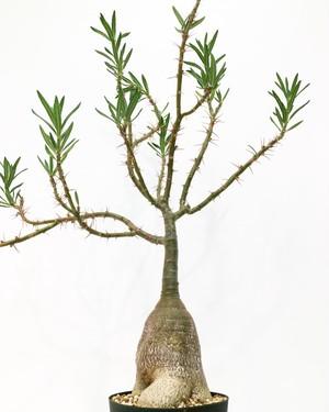 パキポディウム  天馬空 Pachypodium succulentum 20180926