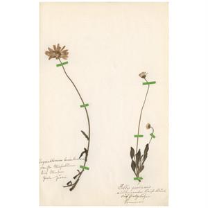 ドイツの古い植物標本 010