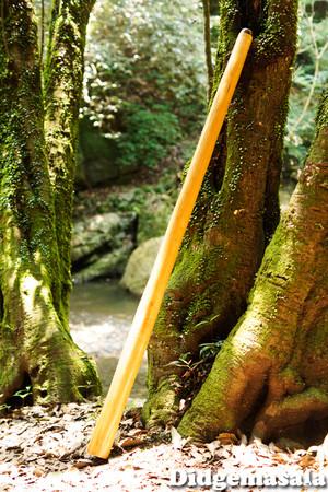 DM013 ディジュリドゥ(木の種類:ブラックチェリーのディジュリドゥ / C )送料無料