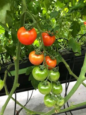 【注文をいただいてから収穫します!】トマトの詰め合わせ:リコピンがいっぱい❕