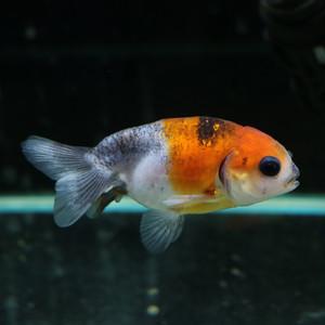 深見養魚場産 2歳 江戸錦 画像同等レベル個体お届け 国産金魚