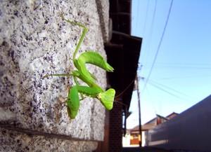 糸崎公朗『自然(=芸術)は都会の中にある:ハラビロカマキリ/和歌山市』R8390142