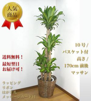 観葉植物10号 バスケット付 マッサン<木札付>