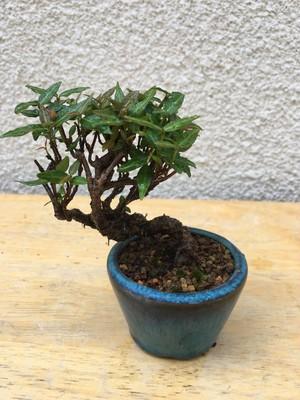 チリメンカズラ盆栽