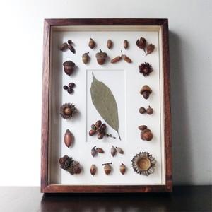 ドングリの標本函