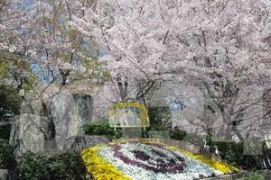 王子動物園の桜0534エクストラライセンス
