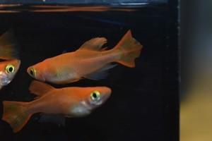 スーパー楊貴妃  ヒカリ体型 2ペア