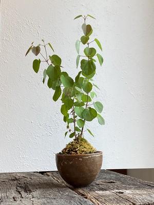 盆栽 カツラ