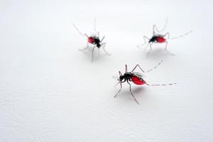 蚊(受注)