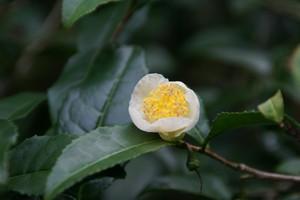 <オンラインストア限定> 茶花の茶 2017 / お茶の花の香りをつけた天日干し釜炒り茶