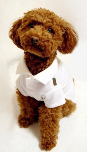 犬用 ポロシャツ 白(S.M.L.LL)税込