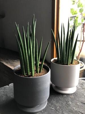サンセベリア バキュラリス・ミカド(鉢植え)