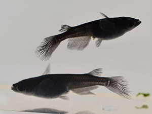 オロチ メダカ 稚魚10匹