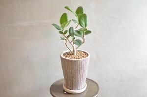 フィカス・ベンガレンシス 鉢植え
