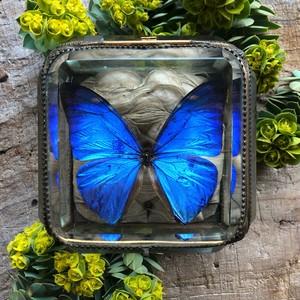モルフォ蝶の標本入り宝石箱