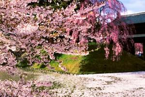 ポストカード 弘前城の桜 銀塩作品