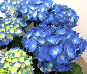 【母の日ギフト】おまかせあじさい(ブルー・ホワイト系)5号鉢