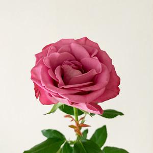 One Flower 一輪のよいはな バラ (やぎバラ育種農園)
