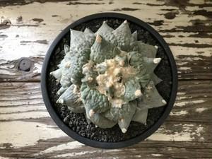 【送料込み】アリオカルプス カリフラワー / ariocarpus cauliflower / 多肉植物