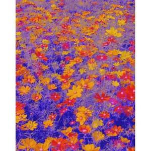 沖縄に咲く花・03・コスモス
