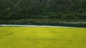 【NEW!】『川ノヒカリ〜安心安全の完全無農薬玄米〜』玄米5kg  令和元年10月収穫 送料無料