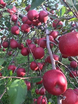 【11/22(日)15時40分~】青森県平川市で約100年の歴史を持つ農家さんにてオンラインりんご収穫ツアー!
