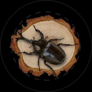 【雑貨】缶バッジ:カブトムシ (Rhinoceros beetle)