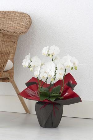 胡蝶蘭アマビリス 白5本立ち【お祝い札は無料でお付けします】