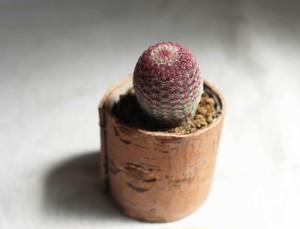 紫太陽[MURASAKI TAIYO]…& Birch bark pot - 2