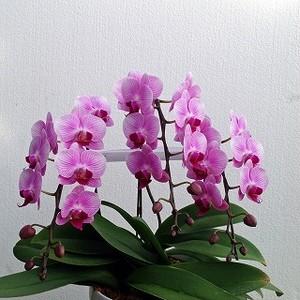 ミディピンク胡蝶蘭3本no3