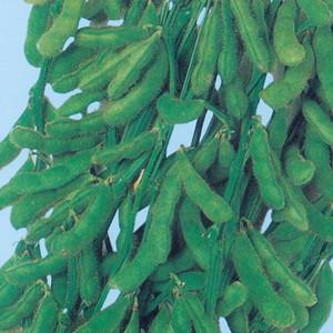 さかな豆(種子)小袋1DL