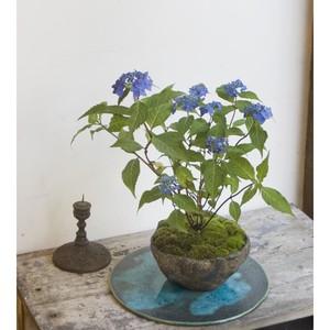 山アジサイ・藍姫