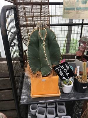 ランポウ玉【観葉植物・サボテン】