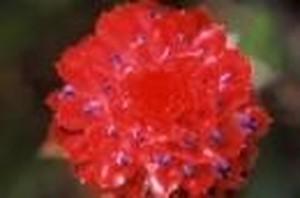 ブロメリア1[Bromelia1]『受容、寛容』