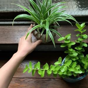 植観葉植物2点セット オリヅルラン&ホヤ