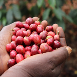 ケニア キアジビ・コーヒーエステート農園 中深煎り 200g
