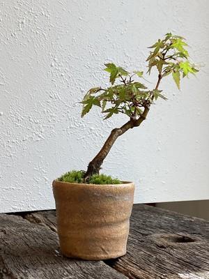 盆栽 ヤマモミジ(05)
