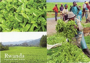 Tea Growing / Post card