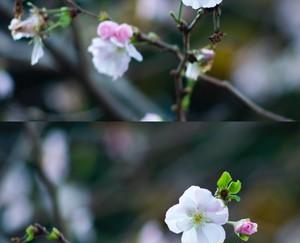 糸崎公朗『冬桜』PB111034