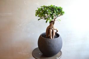 ガジュマル 鉢植え