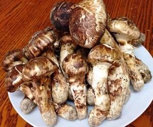 ブータン生松茸1㎏お中元セット