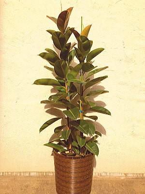 ht006 観葉植物 ゴムの木