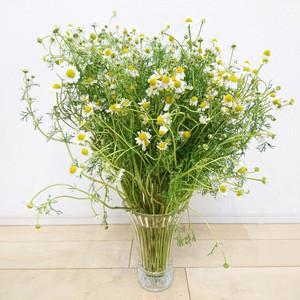 無農薬 カモミールの花束