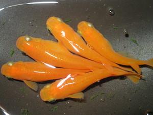 大和紅帝 稚魚20匹