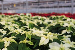 ポインセチア花鉢 PRINCETTIA オペラ (マルコウ種苗 萩原さん)