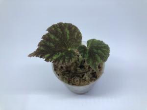 Begonia sp. Sidikalang【R0817-01c】