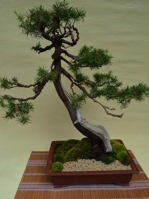 盆栽・杜松(b10006)
