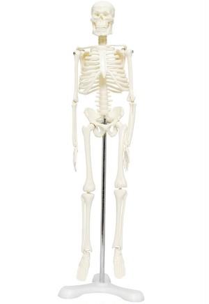人体骨格模型 骨格標本 稼動 直立 スタンド 教材 45cm 1/4 モデル ホワイト 台座・三つ足