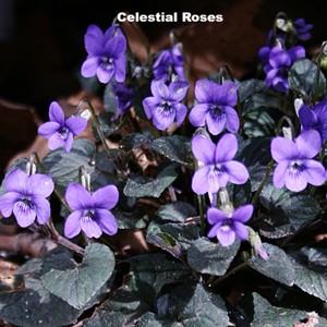 スミレ ラブラドリカ Viola labradorica 'Purpurea'