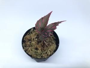 Begonia sp. Julau【R1214-01b】